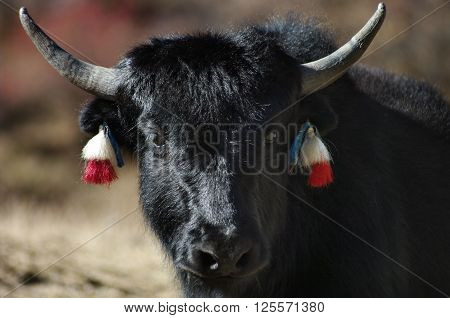 Young yak in the Himalayas mountains. Nepal.