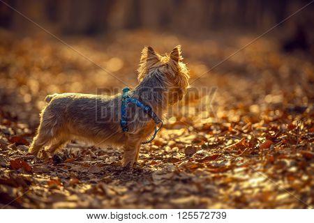 Australian Silky Terrier Late Fall Forest Walk.
