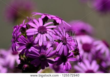 May wildflowers in full splendor, pericallis webbii, Canary islands ** Note: Visible grain at 100%, best at smaller sizes