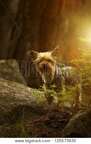 Puppy Australian Silky Terrier Portrait in the Forest. Vertical Photo.