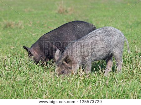 Two little pigs are grazed on a green lawn