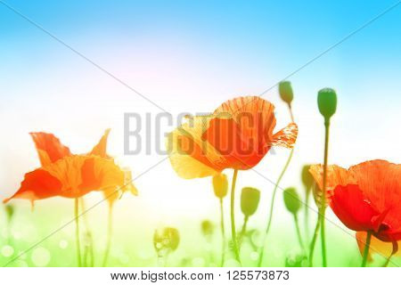 Gentle poppies in a field on a bright sunny day