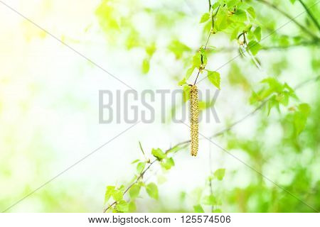 Spring background with green leaves and birch catkins