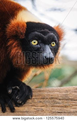 Portrait of an adult red ruffed lemur in dutch zoo, The Netherlands