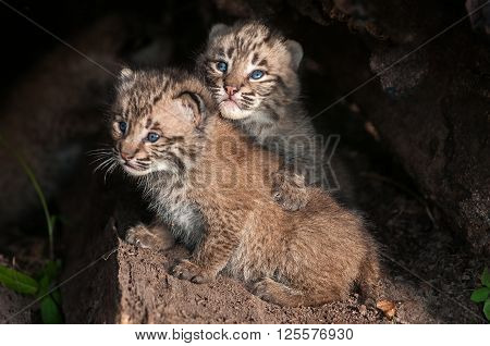 Baby Bobcat Kits (Lynx rufus) Look Up - captive animals - focus on rear kit