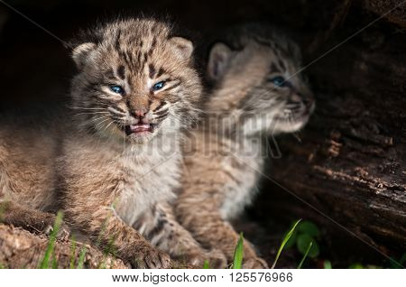 Baby Bobcat Kits (Lynx rufus) Open Mouth - captive animals