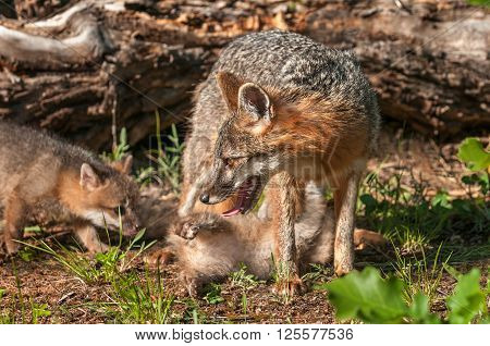 Grey Fox Vixen (Urocyon cinereoargenteus) with Two Kits - captive animals