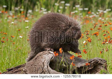 Porcupine (Erethizon dorsatum) Paw Up on Log - captive animal