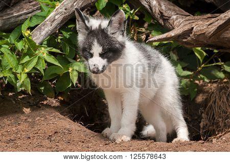 Young Marble Fox (Vulpes vulpes) Eyes Closed - captive animal
