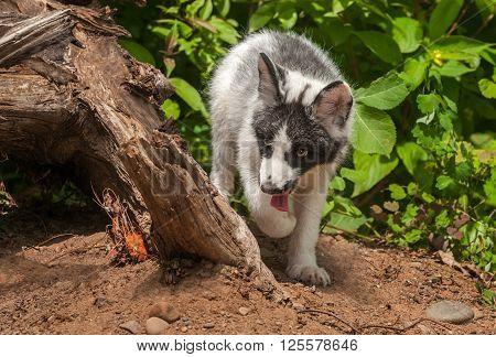 Young Marble Fox (Vulpes vulpes) Walks Around Log - captive animal