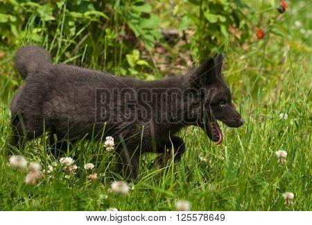 Young Silver Fox (Vulpes vulpes) Stalks Right - captive animal
