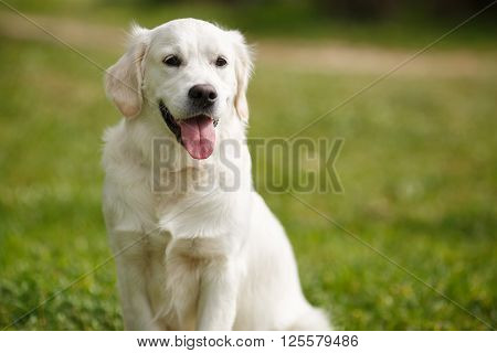 Pet , an adult dog breed white labrador, drooping ears, carefully watching , posing for a photograph sitting on the green grass in the summer the park for a walk