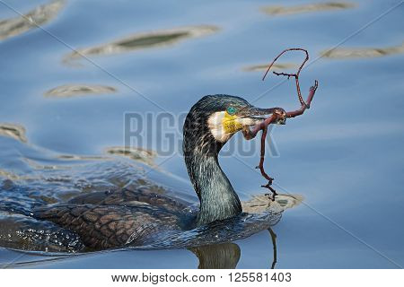 Great cormorant (Phalacrocorax carbo) swimming with a branch in its beak