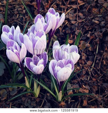 First Crocus Flowers. Spring Blossoms. Aged Photo.