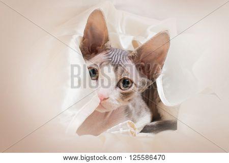 portrait of devon-rex kitten looking in camera
