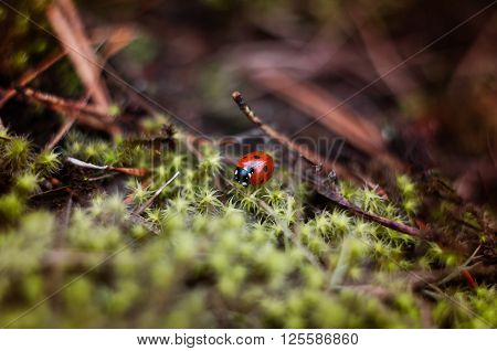 Beautiful ladybird on green moss close up