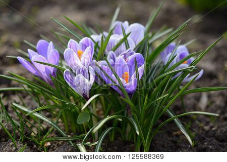 Blue crocus flowers in garden close up