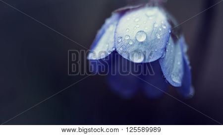 blue blossom with water drops of geranium pratense