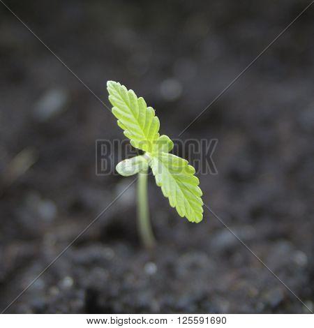 Single marijuana seedling, macro shot. Shallow DOF.