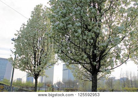 flowering tree in a city park in northen Italy