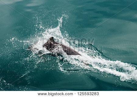 Fast Dolphin in the Wildlife Sea Mammal