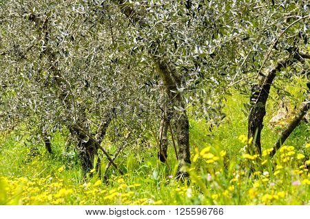 Olive trees in spring, Italy