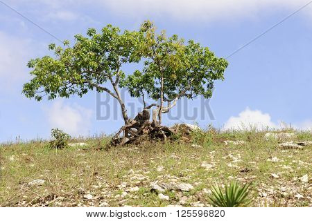 Three trees growing alone together on a hilltop against a blue sky with soft white clouds.