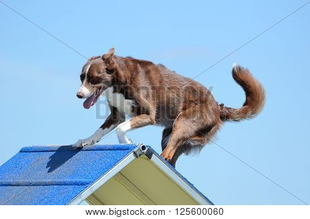 Border Collie Going Over an A-Frame at a Dog Agility Trial