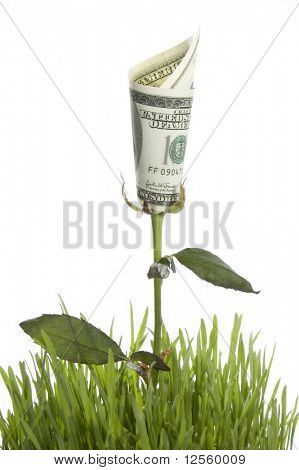 Growing money rose. Conceptual image.