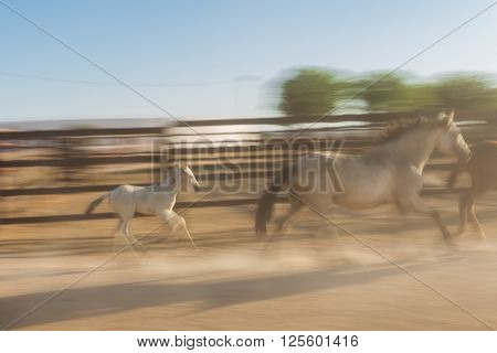 A baby horse overtakes the mother. Animals in the movement blurred.