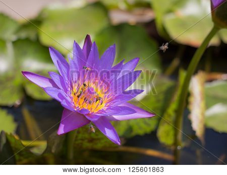 honey bees flying with bee collecting nectar on colorful lotus flower blooming