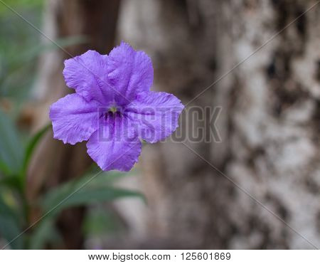Minnie root Purple Blossom in Natural Environment