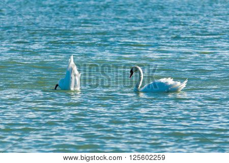 Two adult mute swans on wavy water with one swan diving while other swan watches.