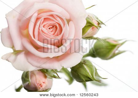 Beautiful rose with buds.Isolated on a white background.