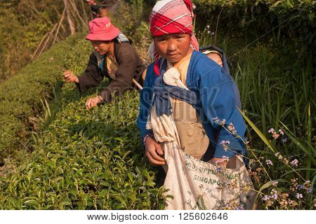 Doi Mae Salong, Chiang Rai, Thailand,- 2005: On the mountainside women of the Akha ethnic group, harvesting tea leaves