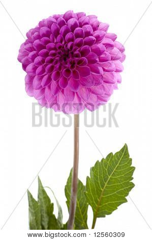 Beautiful single violet dahlia.