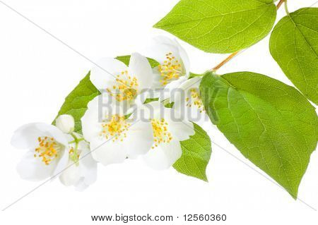 Beautiful fresh Jasmine