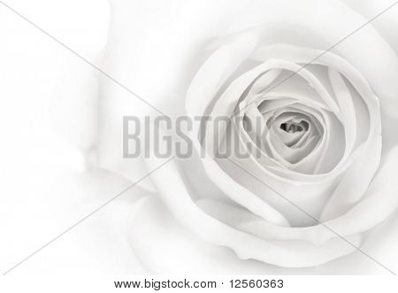 Beautiful Rose Background