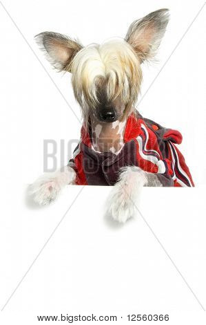 Cute Chinese Crested Dog holding white  board.