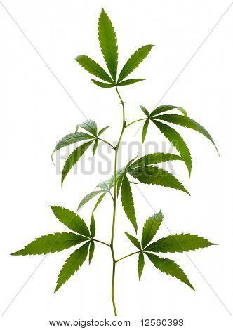 Marijuana on white