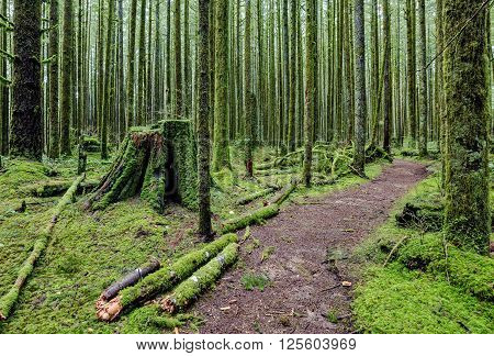Wet forest, tree trunks and the ground covered with green moss