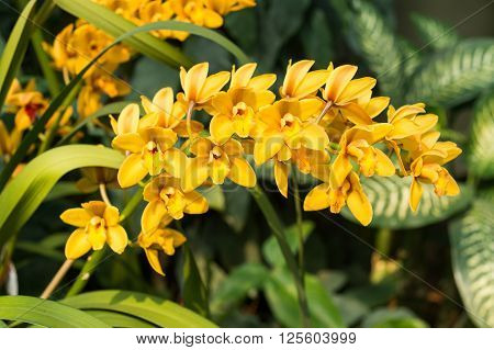 Spike Of Yellow Orchids