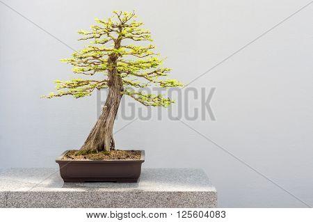 Bald Cypress Bonsai (Taxodium distichum) over white wall
