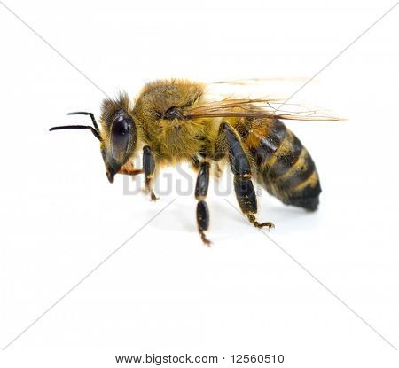 Very detailed Bee on white