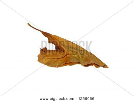 Dried Autumn Leaf