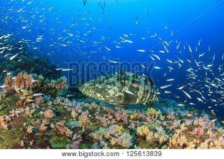 Marbled Grouper fish on coral reef
