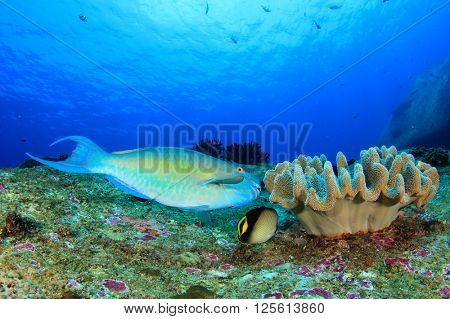 Parrotfish and coral reef