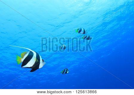 Bannerfish tropical fish