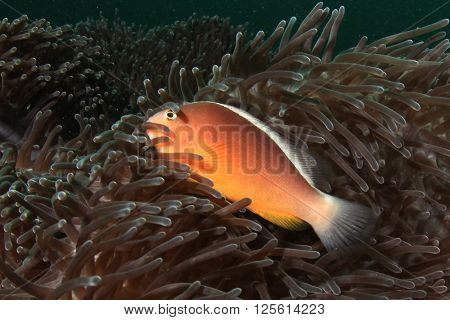 Skunk Anemonefish (Clownfish)