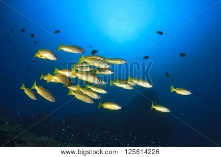 School yellow Snapper fish on ocean coral reef